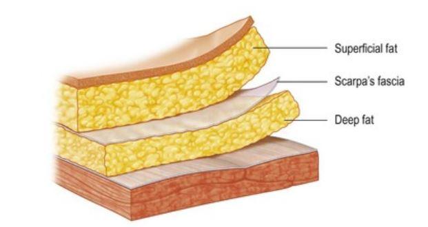 脂肪層解剖學